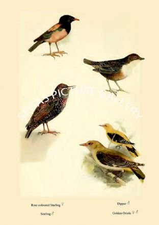 Rose coloured Starling, Starling, Dipper & Golden Oriole